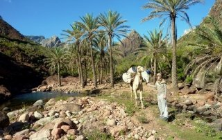 Yemen Camel Trek Socotra